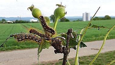 Pflanzenschutz Tübingen: Die Raupen des Ringelspinners schädigen Apfel-, Birn- und Laubbäume
