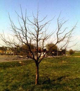 Obstbaäume wie Apfelbaäume, Kirsch- oder Pflaumenbäume richtig pflanzen und schneiden
