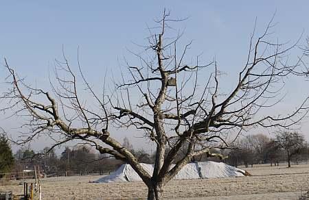 Boskoop von Rudolf Thaler, OGV Bissingen/Teck - alte Obstbäume richtig schneiden