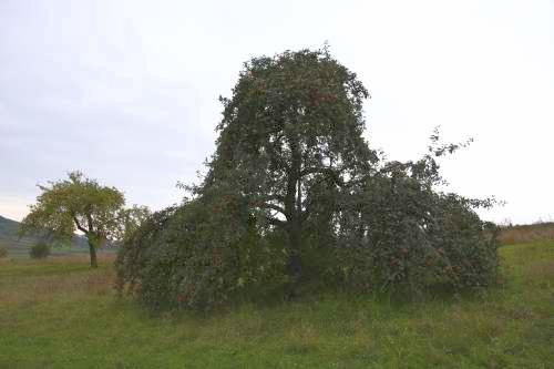 alten Obstbaum retten