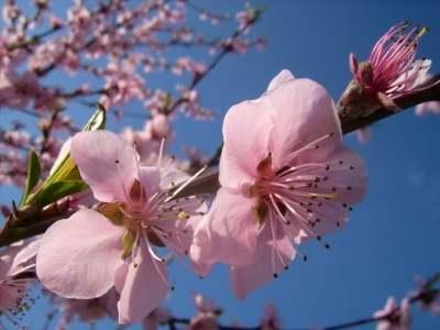 Wannsollte man einen Pfirsichbaum zurückschneiden?