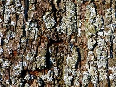 Rinde von Obstbäumen mit Baumratzer reinigen